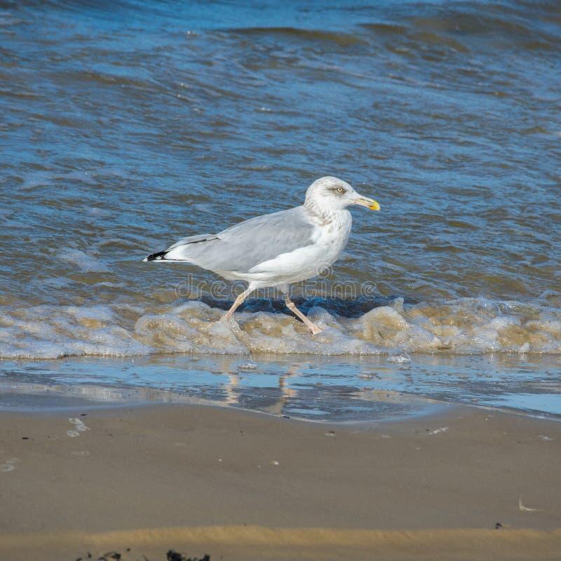 En seagull som promenerar kusten Slapp fokus royaltyfri fotografi