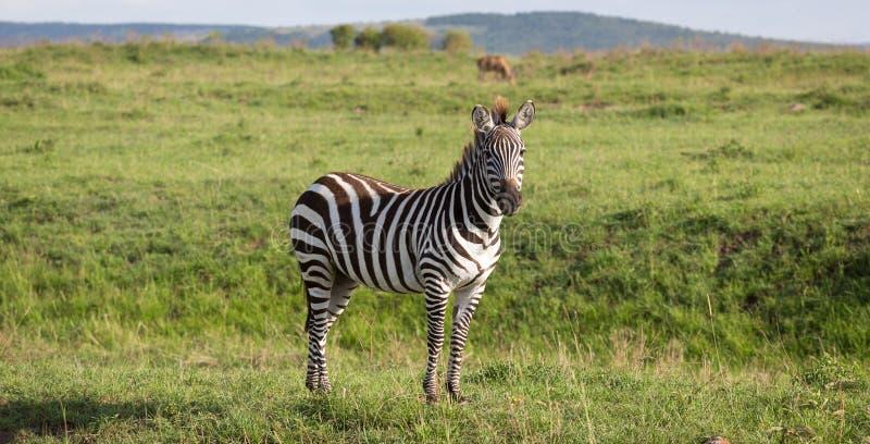 En sebra i det gröna landskapet av en nationalpark i Kenya royaltyfria bilder