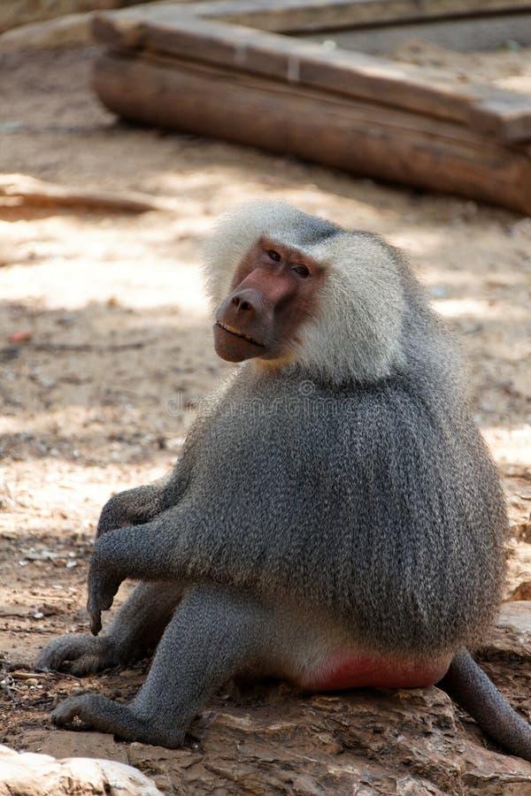 En Seende Baboon Fotografering för Bildbyråer