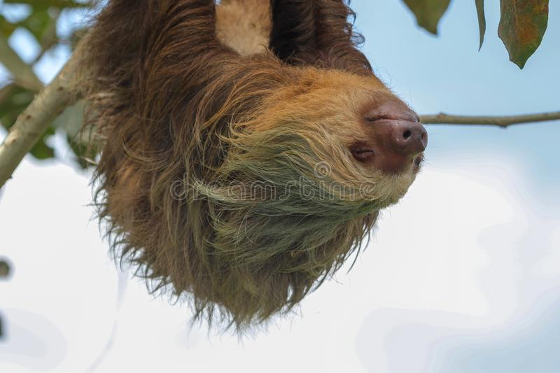 En sengångare i den Cahuita nationalparken royaltyfria foton
