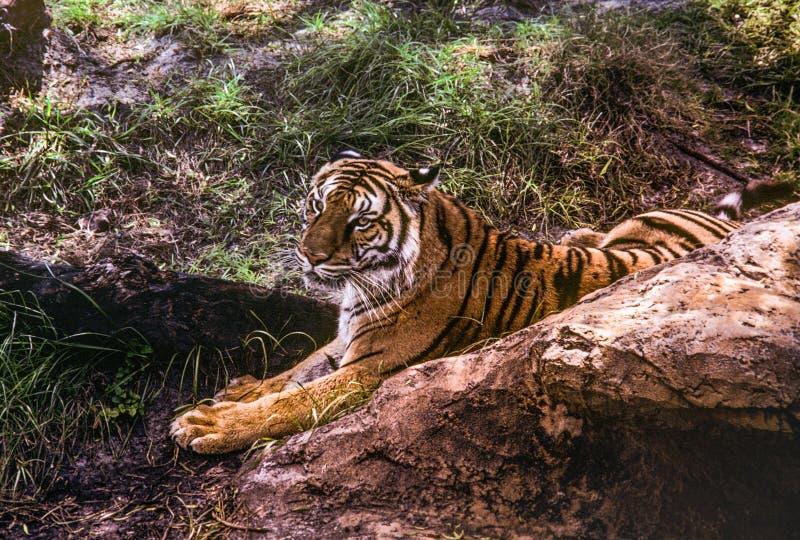 En Siberian tiger ligger i skuggat gräs på Busch trädgårdar royaltyfri bild
