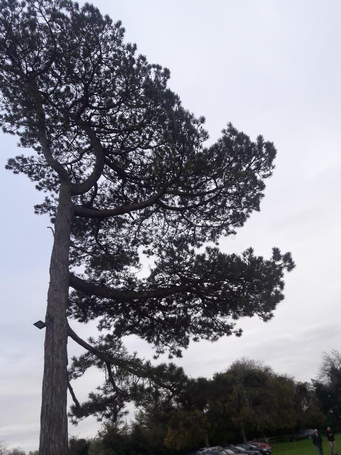 En sid trädet arkivfoton