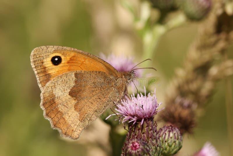 En sidosikt av en ängbruntfjäril, den Maniola jurtinaen som nectaring på en tistel med dess vingar, stängde sig royaltyfri fotografi