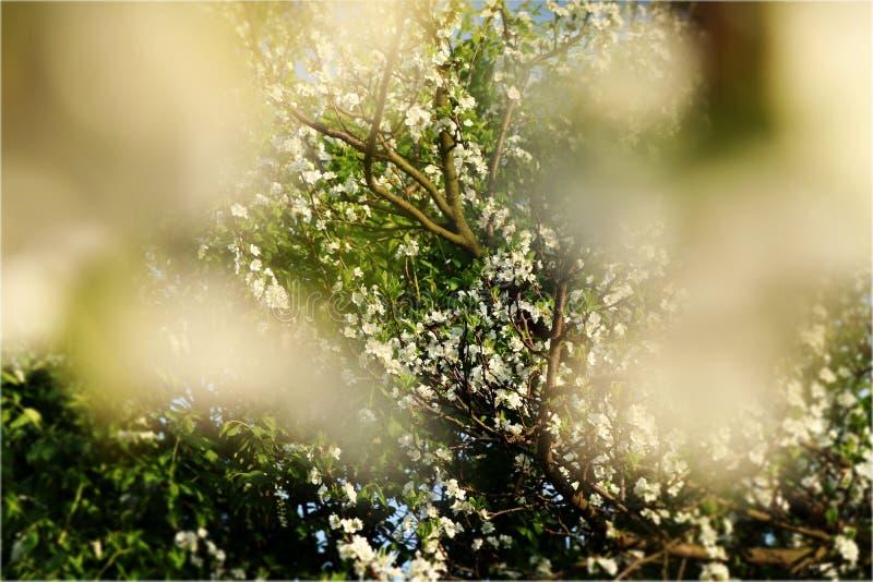 En sikt på plommonträd till och med filialer av det körsbärsröda trädet i vår trädgård Manobjektet är i mitt av bilden och runt o arkivfoton