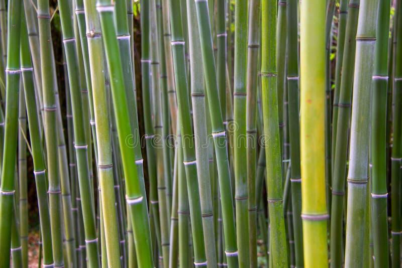 En sikt till en grön bambuskog royaltyfri fotografi