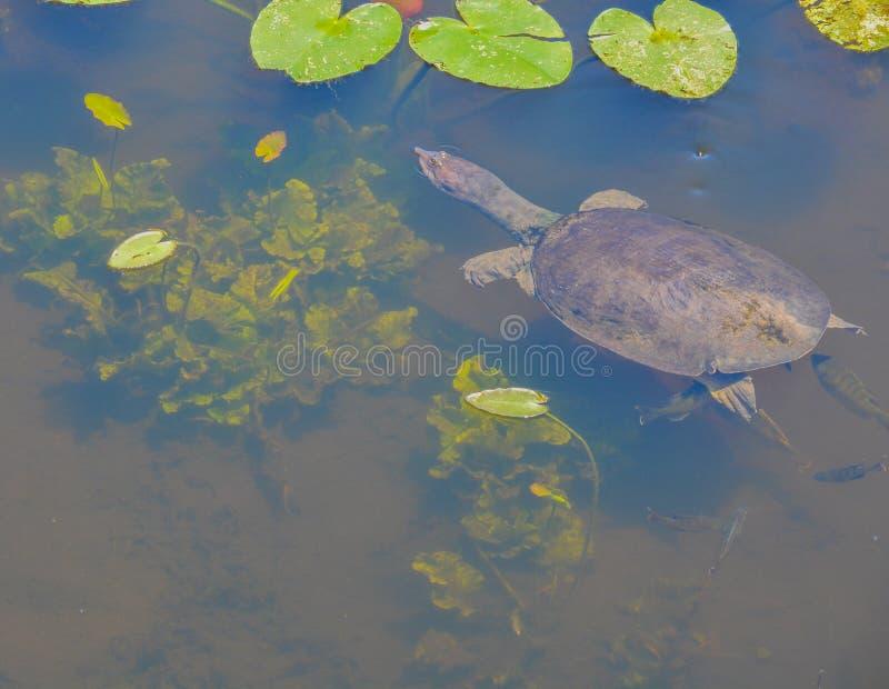 En simning för ferox för apalone för florida softshellsköldpadda runt om liljablock i Largo, Florida arkivfoton