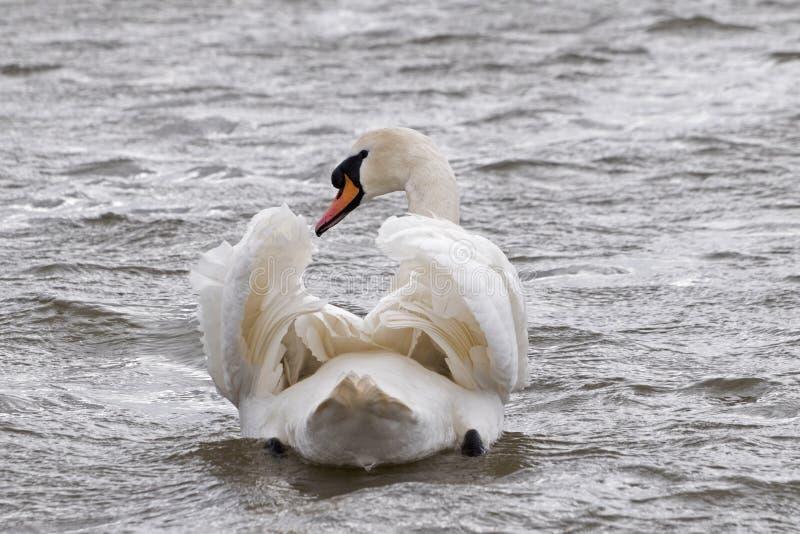 En simning för stum svan fotografering för bildbyråer