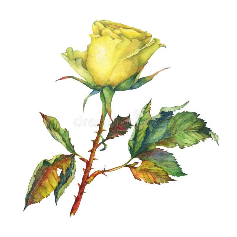 En singel av den härliga guld- gulingrosen med gröna sidor stock illustrationer