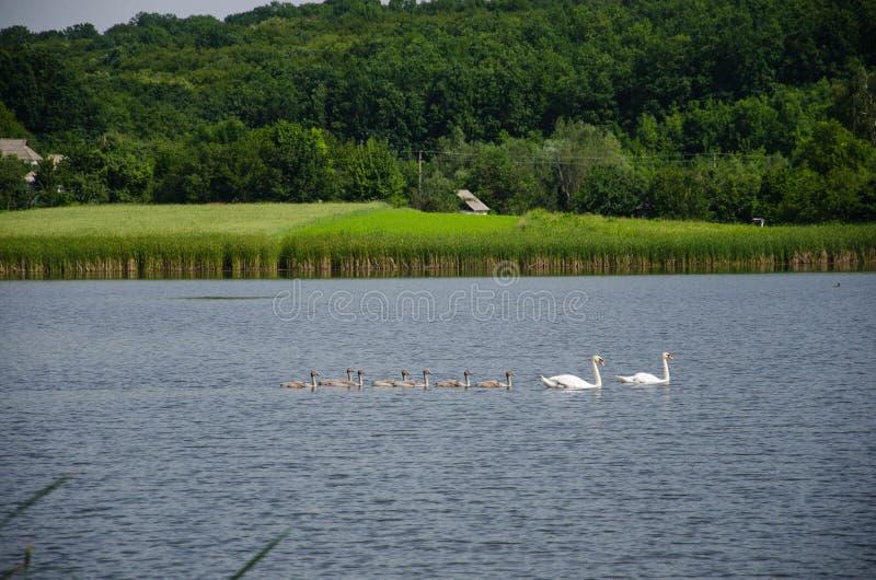 En sjö med två svanar i den öppna luften royaltyfri foto