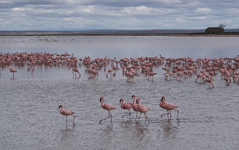 En sjö mycket av flamingo fotografering för bildbyråer