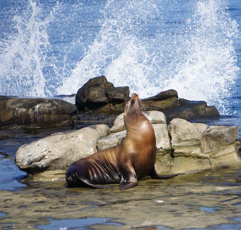 En sjölejon på kusten royaltyfri foto