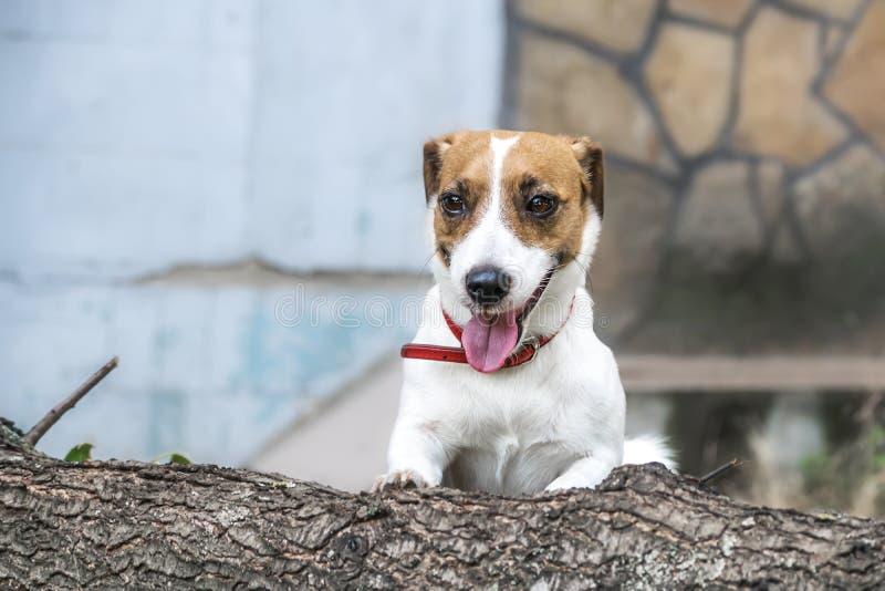 En skämtsam hund Jack Russell Terrier som går att hoppa över det avverkade trädet arkivfoton