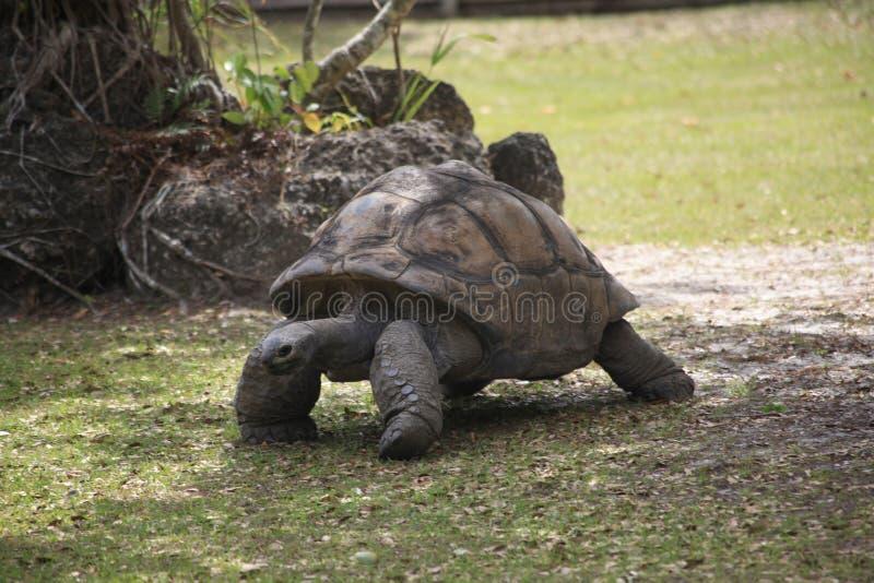 En sköldpadda går royaltyfri bild