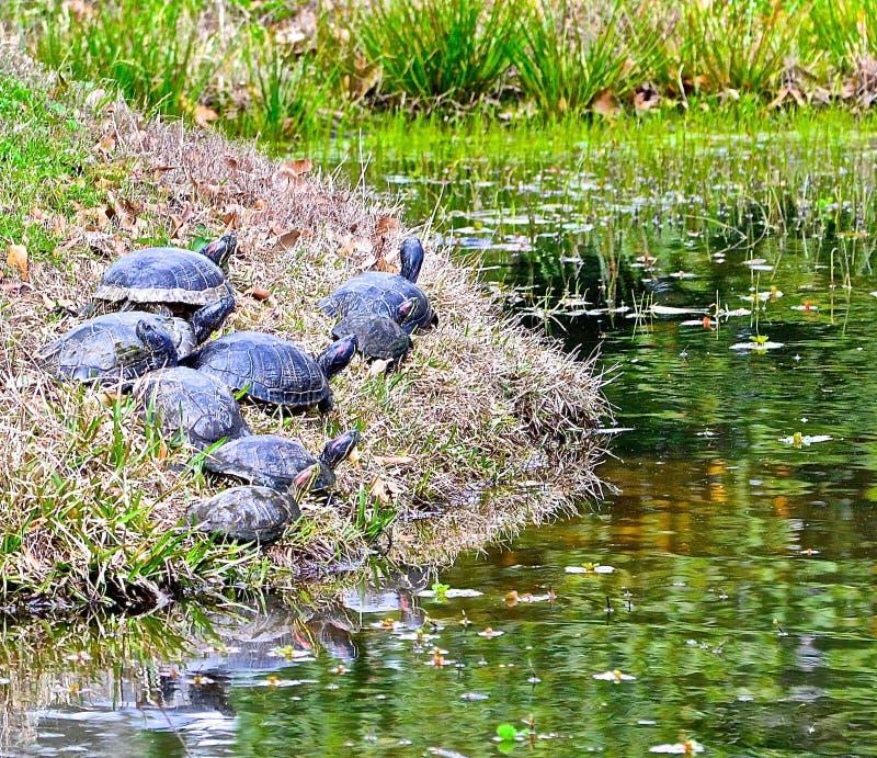 En sköldpaddafamilj tycker om tid tillsammans i strömbrytare Louisiana fotografering för bildbyråer
