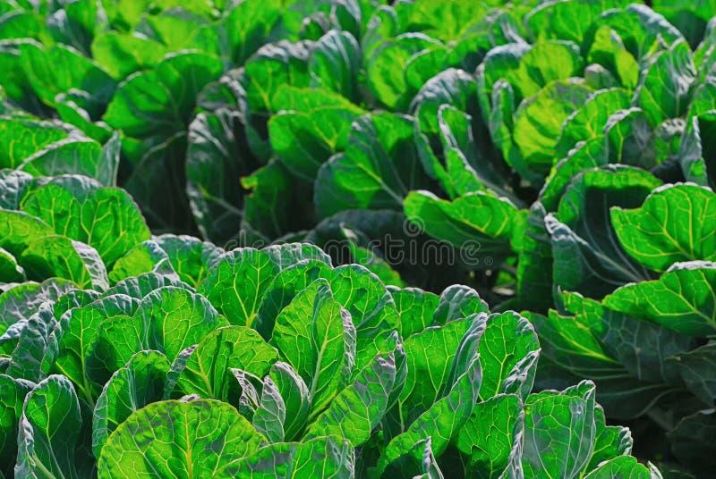 En skörd av grönsaker med stor gräsplan lämnar att växa i centrala Kalifornien arkivfoto