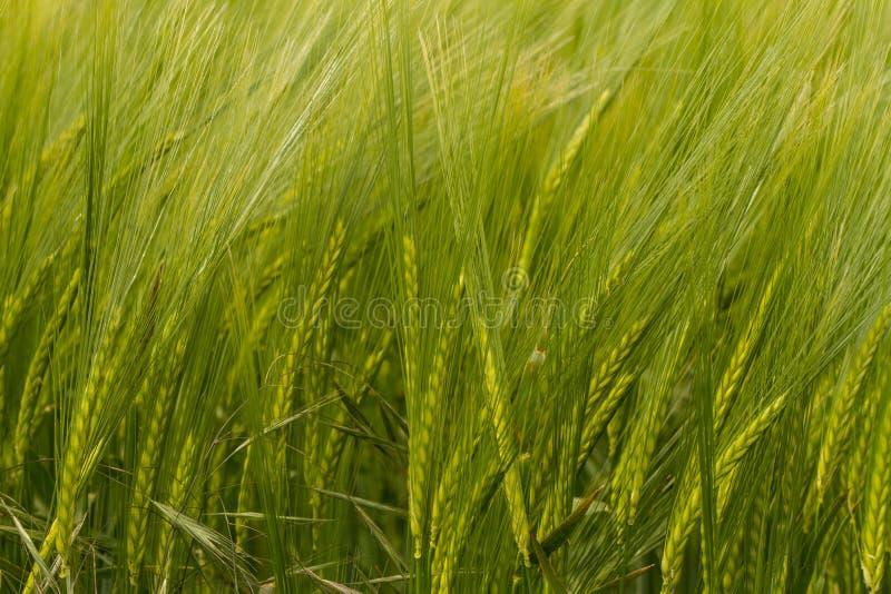 En skörd av grönt korn fotografering för bildbyråer