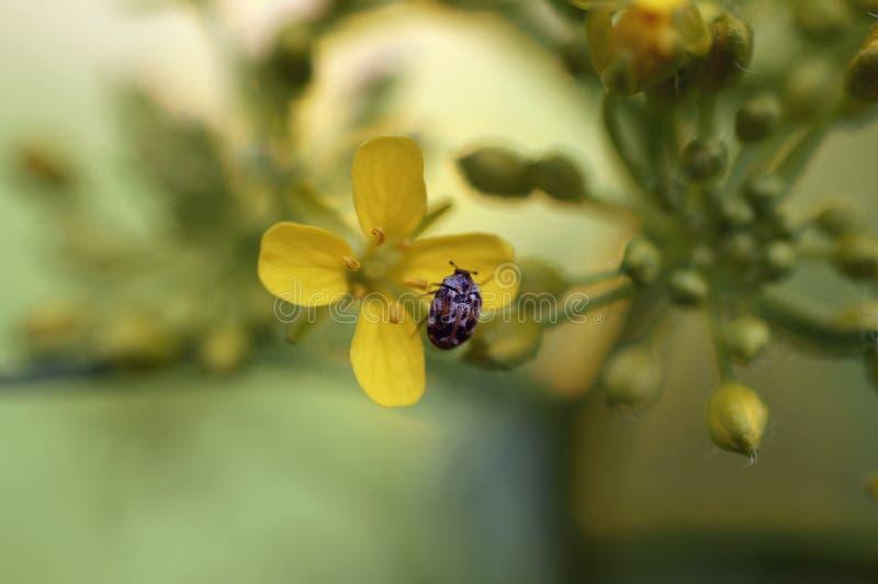 En skalbagge och en blomma fotografering för bildbyråer