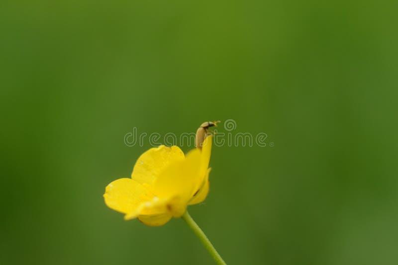 En skalbagge på blomman arkivfoton