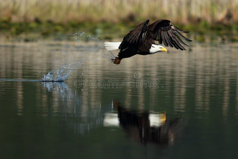 En skallig örn med en fisk arkivbild