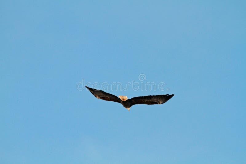 En skallig örn som bort flyger royaltyfria bilder