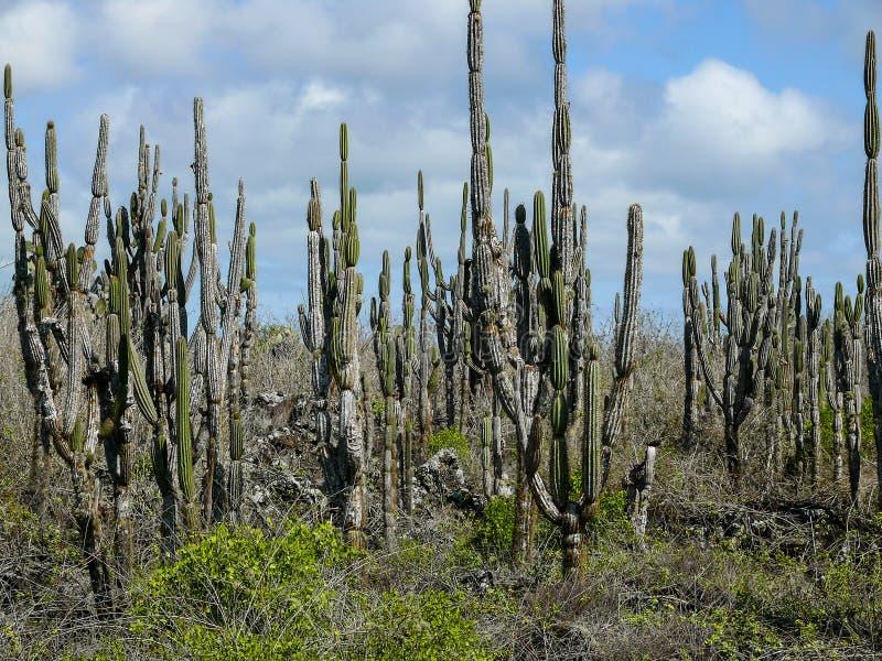 En skog av kaktusen royaltyfri foto