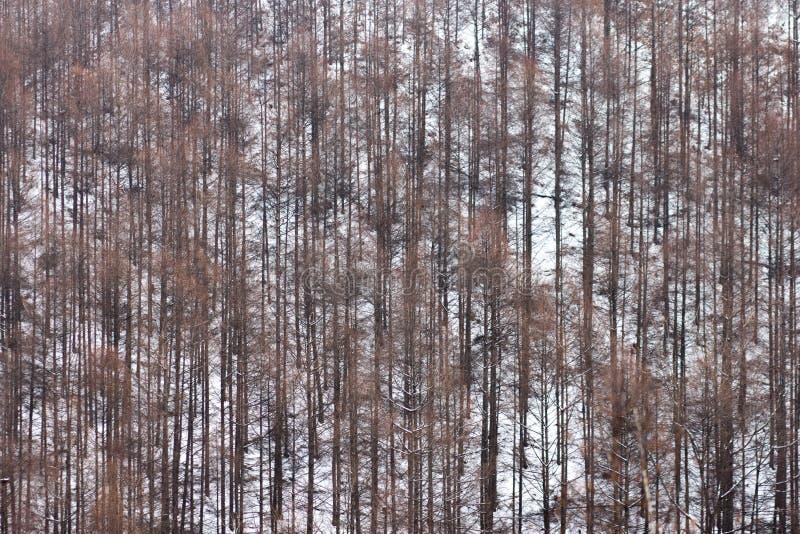 En skog som fylls med högväxta bruna vissna träd royaltyfria bilder