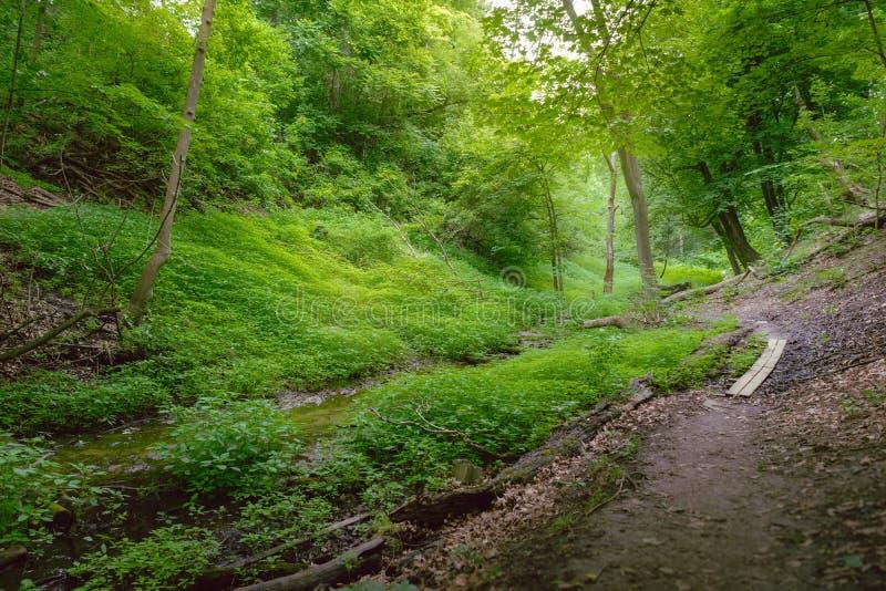 En skogbana som spolar till och med en gully royaltyfri foto