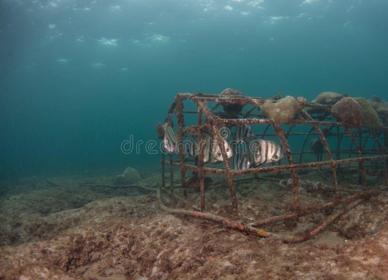 En skola av atlantiska Spadefish under en pir i Florida royaltyfria foton
