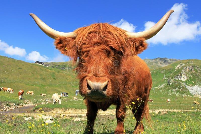 En skotsk höglands- ko royaltyfria bilder
