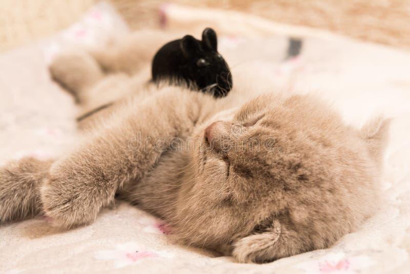 En skotsk slokörad kattunge sover på dess sida royaltyfri fotografi