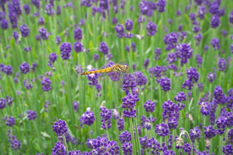 En slända på lavendel eller lavandula i en trädgård i Gunma fotografering för bildbyråer