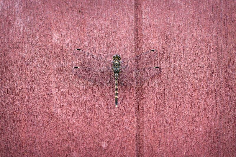 En slända på röda bruna väggbakgrunder fotografering för bildbyråer