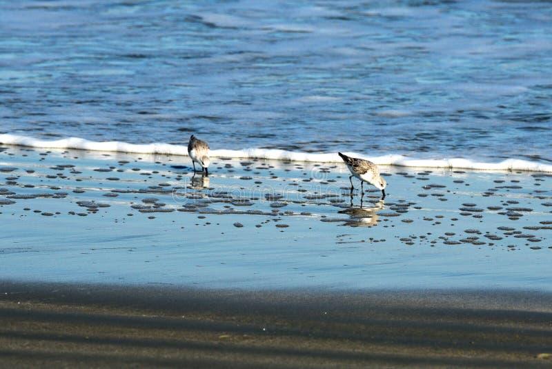 En snäppa som söker efter föda på kanten av havet royaltyfria bilder