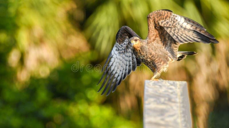 En snail Kite förbereder sig för att ta flyget i Everglades i Florida royaltyfri fotografi