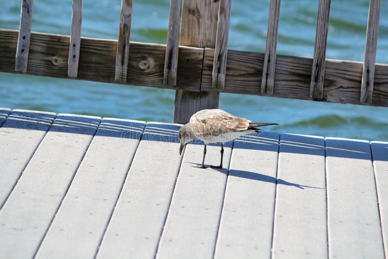 En soliary fågel som promenerar en pir som pickar skeppsdockan arkivfoto