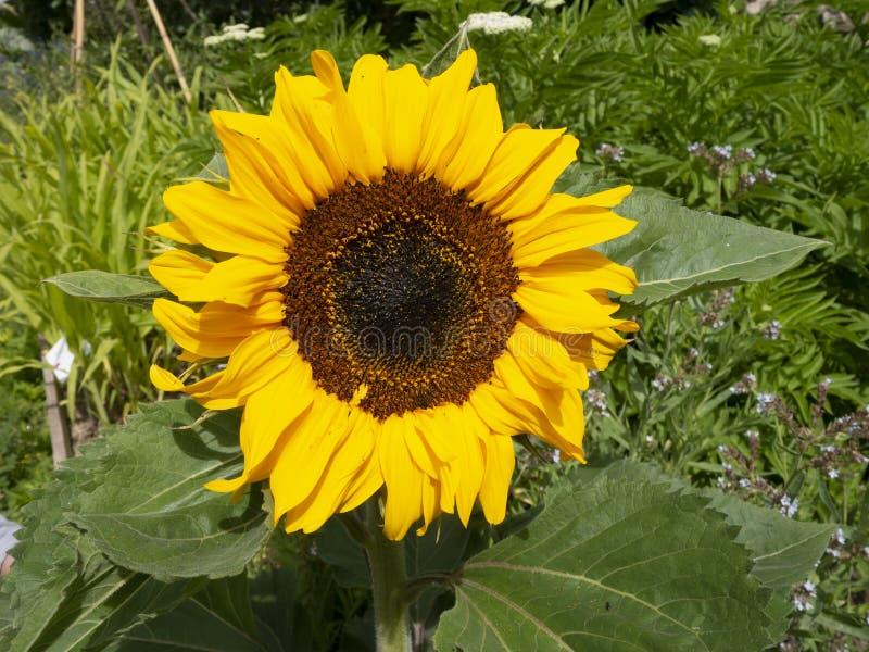 En solros i solen royaltyfri foto