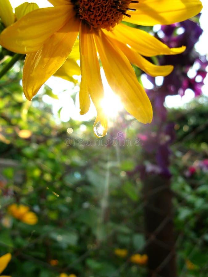 En solros med droppe av vatten under solen royaltyfri bild