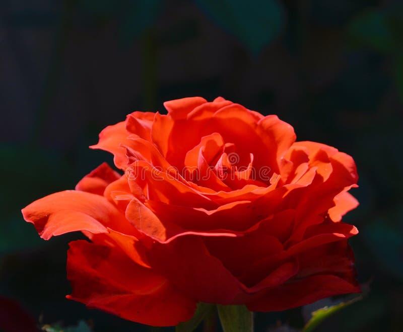 En solupplyst röd rosblomma arkivbild