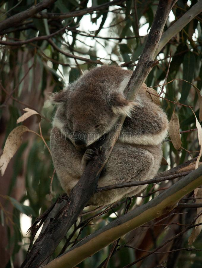 En sova koala på ett eukalyptusträd på den stora havvägen i Australien royaltyfri foto