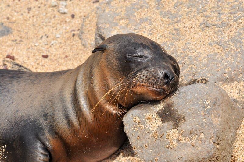 En sova sjölejon fotografering för bildbyråer