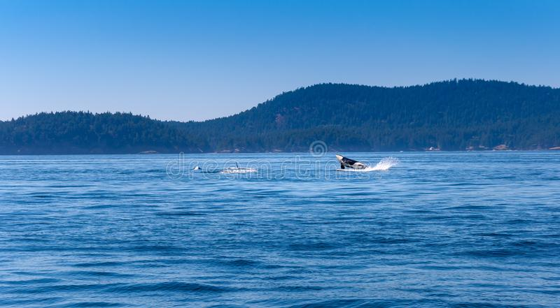 En späckhuggare hoppar ut ur vattnet royaltyfri fotografi