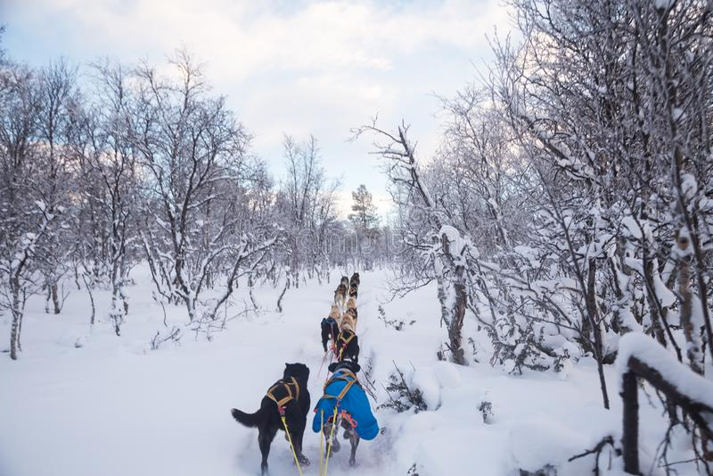 En spännande erfarenhet som rider en hundsläde i vinterlandskapet Snöig skog och berg med ett hundlag fotografering för bildbyråer