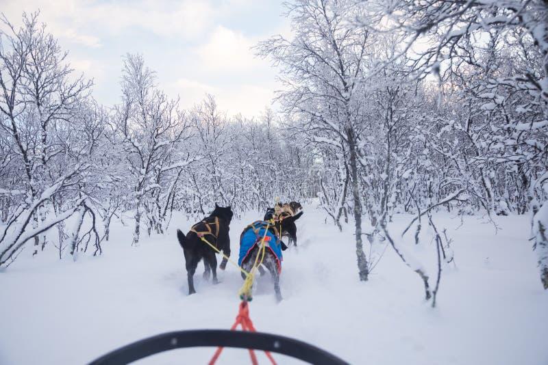 En spännande erfarenhet som rider en hundsläde i vinterlandskapet Snöig skog och berg med ett hundlag arkivbilder