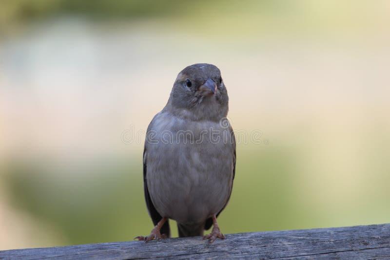 En sparrow med oskärpebakgrund arkivfoton