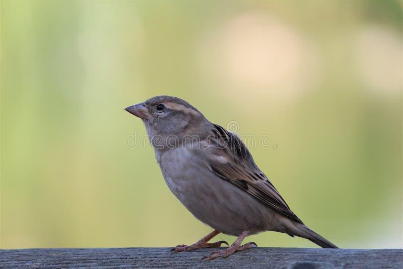 En sparrow med oskärpebakgrund arkivbild