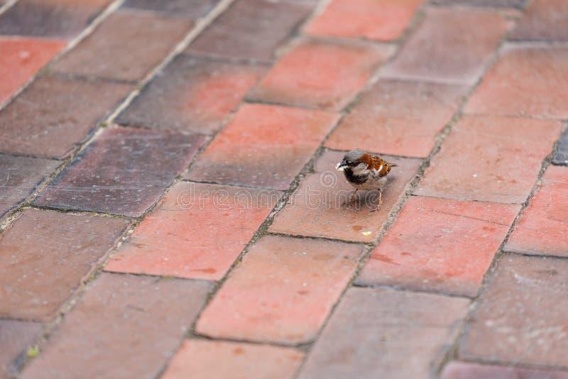 En sperling på att söka efter föda på en matlastbil royaltyfria foton