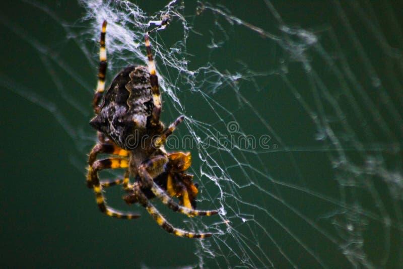 En spindel som väntar på rengöringsduk, stänger sig upp arkivfoton
