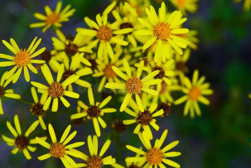 En spridning av gula vildblommor playnig f?r bakgrundsblommalampa royaltyfria bilder
