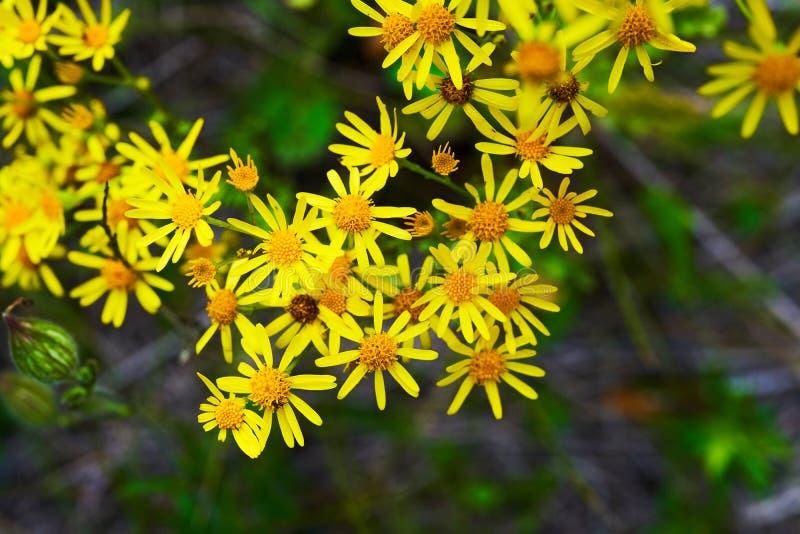 En spridning av gula vildblommor playnig f?r bakgrundsblommalampa royaltyfri bild