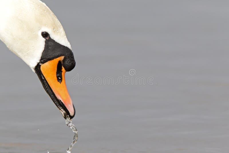 En stående av en Cygnusolor för stum svan som är dricksvatten royaltyfri bild